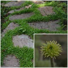 Den lilla, lilla blomman krypkotula,Leptinella squalida, är inte mycket större än en tändsticka. Krypkotula är en favorit att ha mellan de öländska kalkstenarna i Lunden.