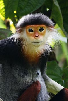 "Red-shanked Douc (Monkey - a/k/a Douc Langur or Costumed Ape - Pygathrix nemaeus).     (""Douc Langur 