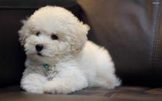 Bichon Frise Puppy Wallpaper 2560x1600 Picture