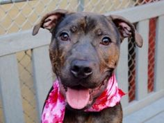 URGENT! 2/16/16. CUPCAKE – A1056629 ***SAFER : EXPERIENCED HOME***IN ACC FOSTER. FOR MORE INFORMATION SEND AN EMAIL to fosters@nycacc.org*** CUPCAKE – A1056629 FEMALE, BL BRINDLE, PIT BULL MIX, 1 yr STRAY – STRAY WAIT, NO HOLD Reason STRAY Intake condition EXAM REQ Intake Date 11/02/2015, From NY 10455, DueOut Date 11/05/2015,