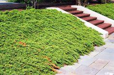 Dwarf Jap Garden Juniper (Juniperus procumbens