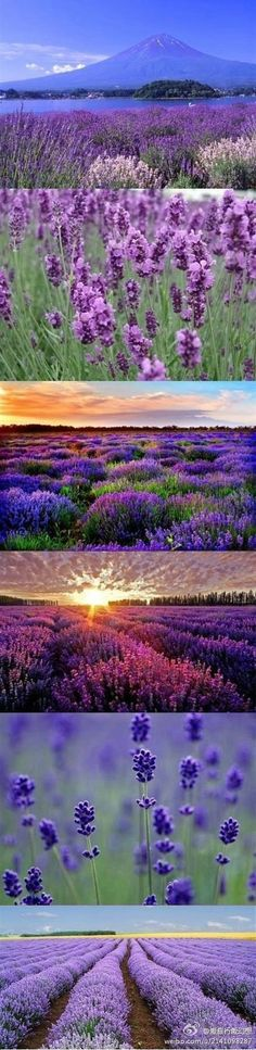New Ideas landscape flowers field provence france Lavender Garden, Lavender Blue, Lavender Fields, Lavender Flowers, Purple Flowers, Beautiful Flowers, Beautiful Places, Wonderful Places, French Lavender