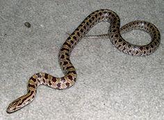Prairie Kingsnake—nice snakes, good to have in the garden