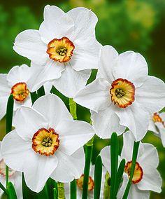 Narcisi Recurvus | Bulbi da fiore | Bakker