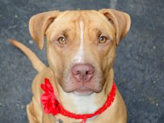 MAYA - A1036718 - - Manhattan  TO BE DESTROYED 06/20/15 A volunteer writes: Maya is a prettty young girl who seems to have been well cared for by her former owner. She looks healthy, very well nourished and dressed in a lovely fawn coat. Her eyes are intense, focused..She knows what she wants..company, treats and a ball game. She is really good, jumping quite high for roast beef that she takes rather gently from my hand after sitting upon request… She is all excited s