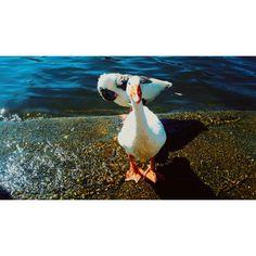 #pato #animal #naturaleza #hermoso