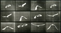 Eadweard Muybridge - Sequence of Bird in Flight.