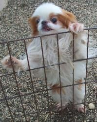 Buttons is an adoptable Japanese Chin Dog in Owatonna, MN. Buttons is a 7 pound, red and white, 7 year old, male Japanese Chin, presently living in a foster home in Ellsworth IA. Buttons is a happy ha...
