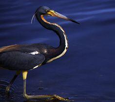 Garça-real fotografada à beira da água, especificamente na trilha Indigo, no Refúgio Nacional da Vida Selvagem JN Ding Darling na Ilha Sanibel, Flórida, USA.  Fotografia: Andrea Westmoreland.