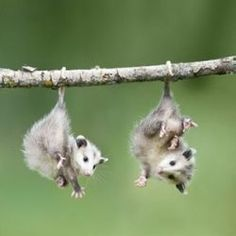 I think these are baby possums. How cute!