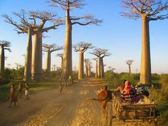 ome 7 km further to the northwest are located the famous Baobab Amoureux - two Adansonia za trees twisted together