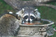 Raccoons drinking