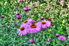 #bee #flowers #summer #sweden #hdr