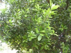 Alloro tree  Sicily