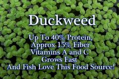 Duckweeds are small free-floating plants often forming dense mats on the surface of still or slow flowing water. They grow best in eutrophic (nutrient rich) waters with an element of organic enrichment from leaf litter.