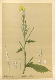 Sinapis alba L.] [as Sinapis alba L.] white mustard Millspaugh, C., Medicinal plants, vol. Mustard Plant, Beautiful Dream, Medicinal Plants, Botanical Art, Natural History, Medicine, Art Prints, American, Illustration