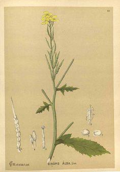 Brassica alba [syn. Sinapis alba L.] [as Sinapis alba L.] white mustard Millspaugh, C.F., Medicinal plants, vol. 1: t. 23 (1892)