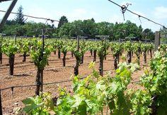 Κλάδεμα του αμπελιού προς το τέλος του χειμώνα   Agronews.gr Vineyard, Fruit, Plants, Outdoor, Outdoors, Vine Yard, Vineyard Vines, Plant, Outdoor Games