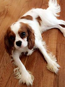 Blenheim Cavalier King Charles Spaniel puppies for sale