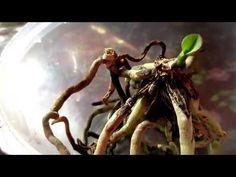 Орхидеи. Удачный метод размножение корнями.Часть 2. \ Orchids. Reproduction by roots. Part 2 - YouTube
