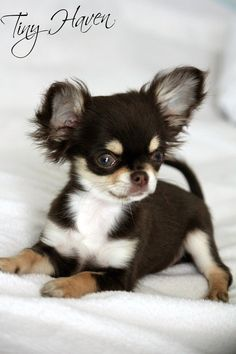 Chihuahua puppy looks like a frisky one, who will make a great companion.