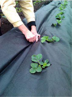 Опыт выращивания клубники от Татьяны Ивановой