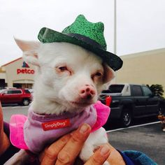 Snowwhite here is still in full St.patty party mode supporting her friends and the #pensacolahumanesociety at #petco on our #tourforlife2016 #spayandneuter #rescue #Purina #adoptdontshop #betterwithpets #cutedogs #cutecats #muttigree #animalleague #  by animalleague  http://bit.ly/teacupdogshq