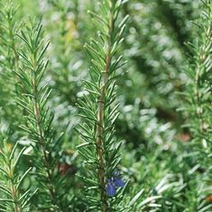 Rosemary (Rossmarinus officinalis) Native American tribes, along with ancient Greeks and Romans, considered this woody perennial shrub sacred. A member of the mint family, rosemary is loaded with antioxidants and has anti-inflammatory properties. Native Americans appreciated rosemary's analgesic properties and used it to alleviate sore joints. A tea can also be prepared to improve oxygen to the brain and boost memory.