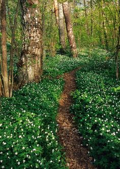 Follow Your Path| Serafini Amelia| Wood Anemone in Finland. Spring! #Nature