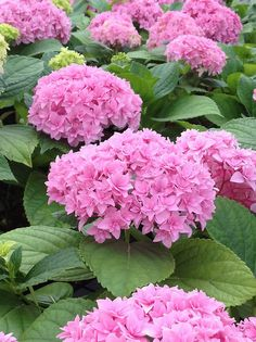 Hydrangea Double Delights Perfection
