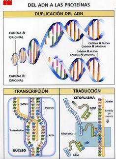 http://www.lourdes-luengo.es/unidadesbio/genetica/genetica/transparencias-gmolecular/gene10.jpg