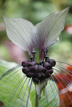 White Batflower—Growing Tacca Integrifolia Indoors