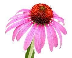 Plantas medicinales para combatir resfriados o resfríos