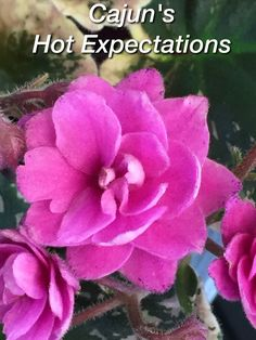 African Violet, Cajun's Hot Expectations; WOW Sizziling    eBay