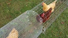 """In order to get the chickens from the coop to the Chicken Dome, we had to come up with a tunnel system.  Below are instructions on how we did it.    I started my Chicken Tunnels using 1/2"""" hardware cloth but found it to be overly flexible and much more expensive (but it works as you see in the photos).   I switched to the same material as others, 2""""x4"""" galvanized fencing in 4' width.  I made my tunnels with a 14"""" base, and they are about 16-18"""" tall."""