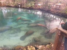 Swim with the Manatees.   These Manatees are at Three Sisters Springs, FLA. Feb. 2015