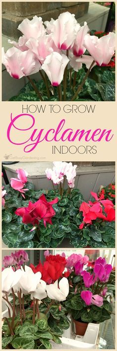 Cyclamen Plant Care Guide: How To Take Care Of A Cyclamen Plant Cyclamen are popular holiday gift plants that most people end up throwing out! Keep them growing and blooming for years with these cyclamen plant care tips. Toxic Plants For Cats, Big Plants, Indoor Plants, Growing Flowers, Growing Plants, Planting Flowers, Organic Gardening, Gardening Tips, Indoor Gardening