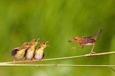 mama bird feeding her three little ones