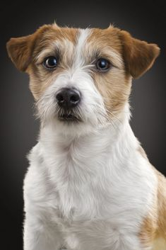 Jack Russel Terrier by Sven Engel on Perros Jack Russell, Jack Russell Puppies, Terriers, Fox Terrier, White Terrier, Terrier Mix, Chihuahua Dogs, Pet Dogs, Dogs And Puppies