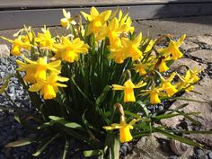 Tiny daffs in the sunshine