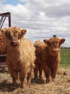Miniature Highland Cattle for Sale | Scottish Highlander for Sale in Georgia | Exotic Pets For Sale