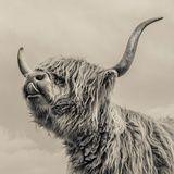 Highland Cattle Fotografie-Druck von Mark Gemmell