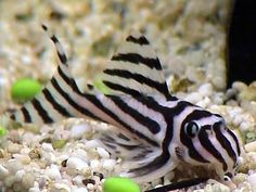 Zebra Plec/Hypancistrus sp. L046 (Isomorphic, sadly due to a dam being built this fish is now on the endangered species list and should therefore be purchased for captive breeding projects only)