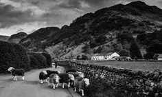 I'm sorry if rewilding hurts farmers, but we need it  -  A shepherd drives his flock down a road in Borrowdale.