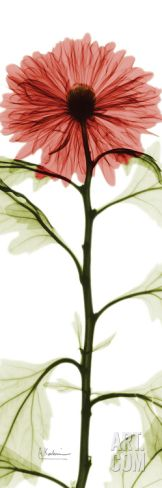 Red Chrysanthemum Art Print by Albert Koetsier at Art.com