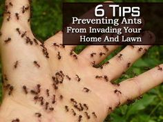 6 Tips On Preventing Ants From Invading Your Home And Lawn