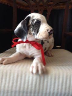 AKC Great Dane puppies born 12/22/2014.   Karen@StopekStables.com for info.