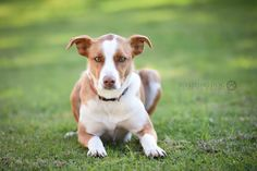 Australian red border collie. Smooth coat. Red border