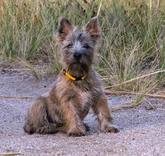There is nothing, no nothing, cuter than a Cairn Terrier puppy. Alf by Marina & Enrique, via Flickr