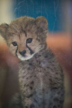 How much is that cheetah in the window?    Photo by Lisa Diaz